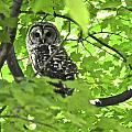 Barred Owl In Hiding by Leland Lewis