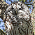 Barred Owl by Jack R Perry