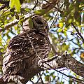 Barred Owl by Jessica Brown