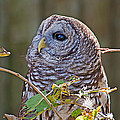Barred Owl  by Kenneth Albin