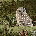 Barred Owl by Marv Vandehey