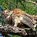 Barred Owl On Limb by Ira Runyan