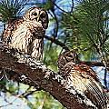 Barred Owl Pair by Ira Runyan