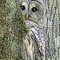 Barred Owl Peek A Boo by Jennie Marie Schell
