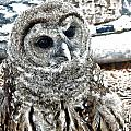 Barred Owl Photo Art by Constantine Gregory