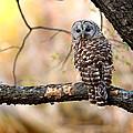 Barred Owl by Rob Blair