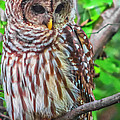 Barred Owl by Scott Hervieux