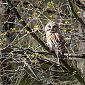Barred Owl Square by Bill Wakeley