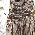 Barred Owl by Tammy Schneider