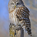 Barred Owl by Tony Beck