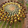 Barrel Cactus Bearing Fruit At El Mirador Rv Resort In San Carlos-sonora-mexico by Ruth Hager