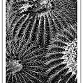 Barrel Cactus Poster by Mike Nellums