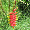 Barriles Heliconia by Ted Pollard