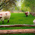 Barrington Farm Bovine by Allen Biedrzycki