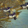 Barrow's Goldeneyes Going For The Gold by Peggy Collins