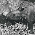 Basel World-record In Rhinoceros Breeding by Retro Images Archive