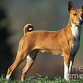 Basenji Dog by Jean-Michel Labat