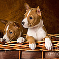 Basenji Puppies by Marvin Blaine
