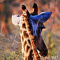 Bashful Giraffe  by Alexandra Jordankova