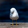 Bashful Seagull  by Debra Forand