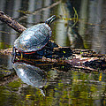 Basking Turtle by Jayne Gohr