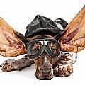 Basset Hound Dog Aviator by Susan Schmitz