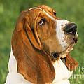 Basset Hound Dog by M. Watson