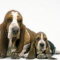 Basset Hound Dogs by Jean-Michel Labat
