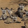 Bat-eared Fox Pups by San Diego Zoo