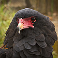 Bateleur Eagle Zimbabwe by Michael Durham
