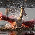 Bath Time - Roseate Spoonbill by Meg Rousher