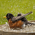 Bathing Robin by Inge Riis McDonald