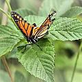 Battered Butterfly by Dan Sproul