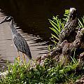 Bayou Bird by Melinda Ledsome