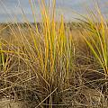 Beach Grass by Allan Morrison