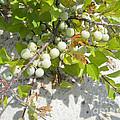 Beach Plum - Prunus Maritima - Island Beach State Park Nj by Mother Nature