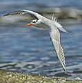 Beach Tern by Bill Dodsworth