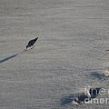Beachcombing Plover by Robert Nickologianis