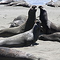 Beachmasters - Elephant Seals by Christiane Schulze Art And Photography