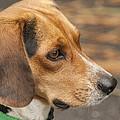 Beagle Loyalty by Kathy Clark