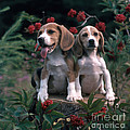 Beagles by Hans Reinhard