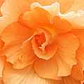 Begonia Beauty by Venetia Featherstone-Witty