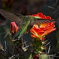 Beak Deep In Nectar  by Saija  Lehtonen