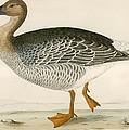 Bean Goose by Beverley R. Morris
