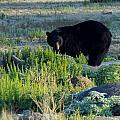 Bear 3 by Phyllis Spoor
