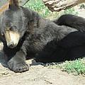 Bear At Rest by Karen Gross