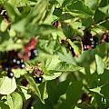 Bear Berries by Donald Brinkman