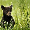 Bear Cub In Clover by Randall Branham