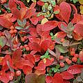 Bearberry In Autumn Yukon Canada by Tim Fitzharris