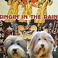 Bearded Collie Art Canvas Print - Singin In The Rain Movie Poster by Sandra Sij